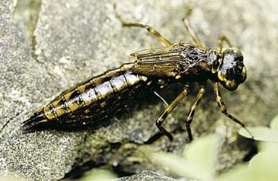 Личинки насекомых