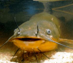 Представитель рыбы