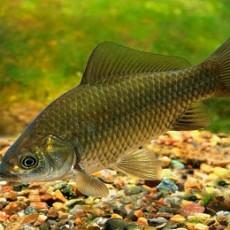 Внешний вид рыбы