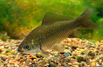 Карась в августе - Внешний вид рыбы