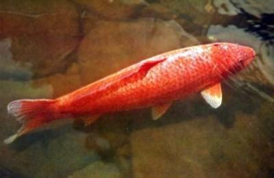 Декоративная рыба