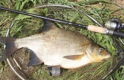 Оснастка фидера на леща - Как выглядит рыба