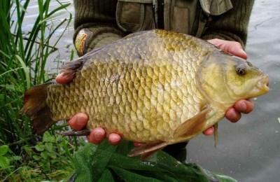 Ловля карася летом - Пример рыбы