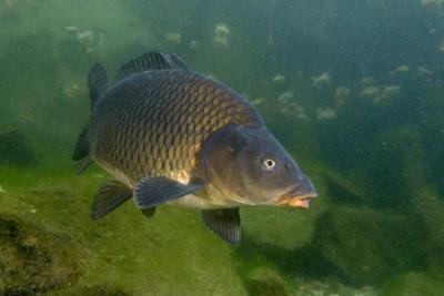 Как ловить сазана летом - Сазан в реке